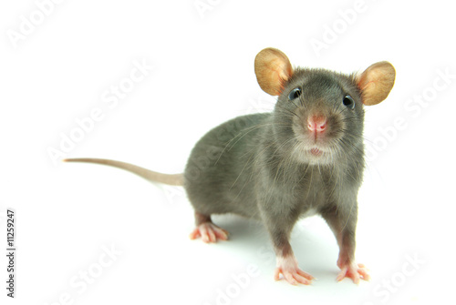 canvas print picture rat