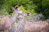 Mother and Young Kudu in Kruger National Park, South Africa. poster
