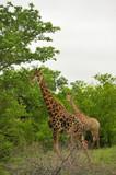 Girafes in Kruger National Park, South Africa. poster