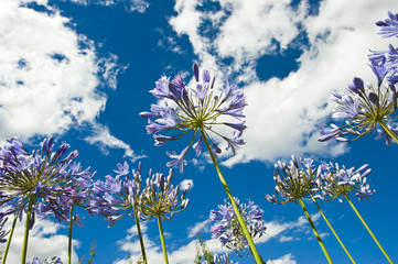 Purple Agapanthus from an interesting perspective.