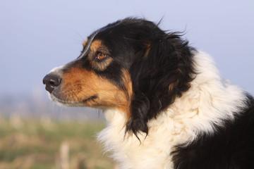 magnifique tête de profil d'un berger australien attentif