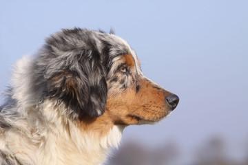 spectaculaire tête de profil d'un jeune berger australien