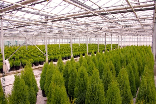 Conifer trees in a glass house