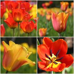 Tulipan in rot und gelb