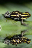 Poison frog from ecuador with reflection poster