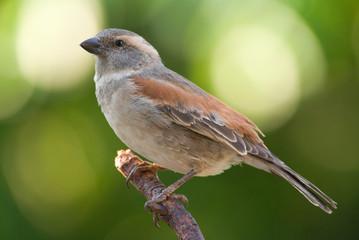 House Sparrow adult female