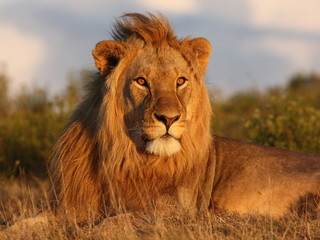 Young lion looking towars the setting sun.