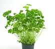 Fresh parsley leaves on a pot.