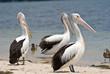 Detaily fotografie Tři pelikáni