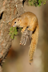 Tree squirrel (Paraxerus cepapi), Kruger N/P, South Africa