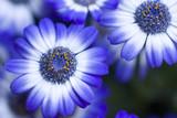 Fototapeta niebieski - biały - Kwiat