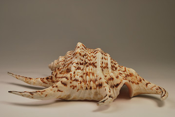 seashell on neutral background