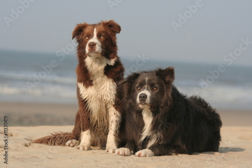 couple de border collie detendus sur la plage