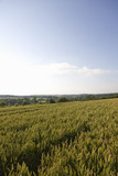 Sloping wheat field