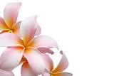 Fototapety Frangipani flower isolated on white background