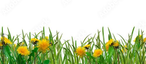 Staande foto Paardebloem dandelions and grass - spring meadow