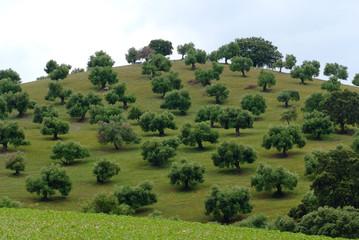 collines aux oliviers