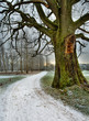 Snowed road under and old oak tree