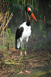 saddle billed stork poster
