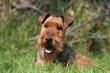 Welsh terrier couché à la campagne