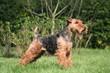 Profil parfait du Welsh terrier à l'arrêt