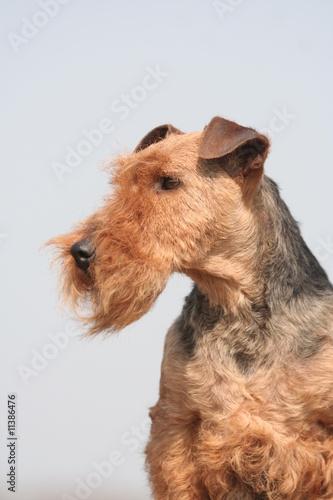 Les belles moustaches de Welsh terrier