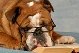 dog obedience school - english bulldog reading a novel poster