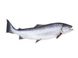 Fototapety photo of salmon on white background
