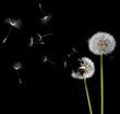 dandelions in the wind