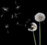 dandelions in the wind - 11393649