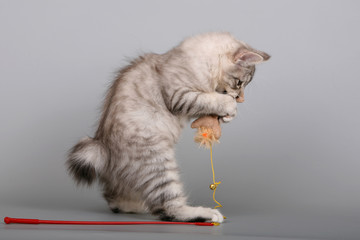 Kuril bobtail kitten playing