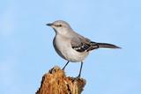 Mockingbird On A Stump poster