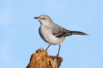Mockingbird On A Stump