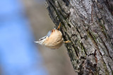 Eurasian Nuthatch poster