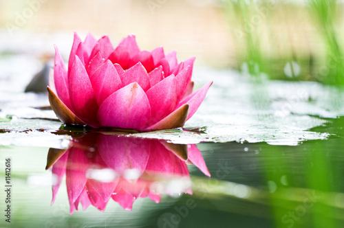 Fotobehang Water planten Seerose