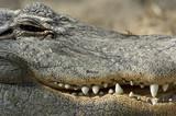 Aligator Jaw poster
