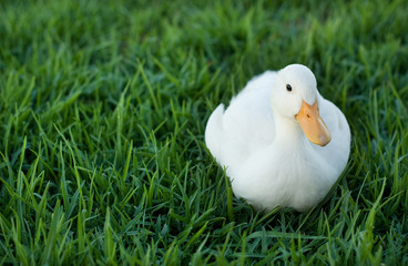 lonely duck on lawn