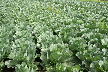 Rows of cabbage in field