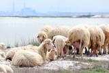 A flock of sheep at the sea shore. Sardinia poster