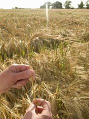 Close up of womans hands holding barley in field