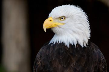 Aquila di mare americana