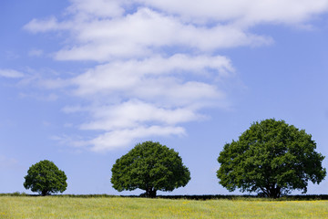 Three ascending trees in field