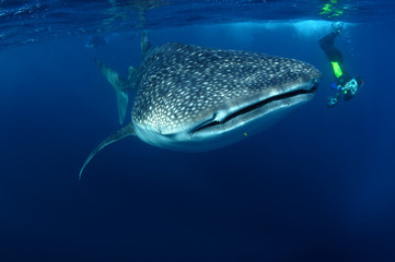 Whaleshark & snorkeller