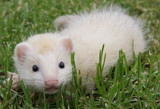 8 week old Sterling Silver Ferret Kit