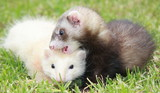 Ferret frivolities