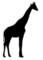 giraffa - ombra