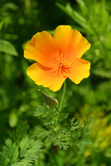 Kalifornischer Mohn - California poppy 14