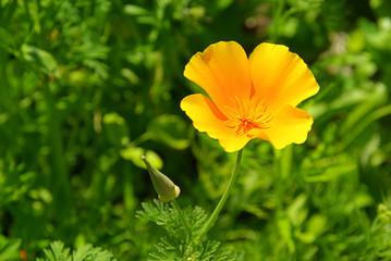 Kalifornischer Mohn - California poppy 16