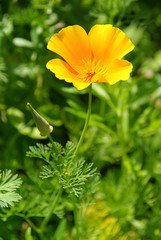 Kalifornischer Mohn - California poppy 17
