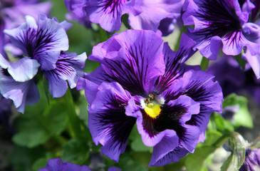 Close-up of violet flower